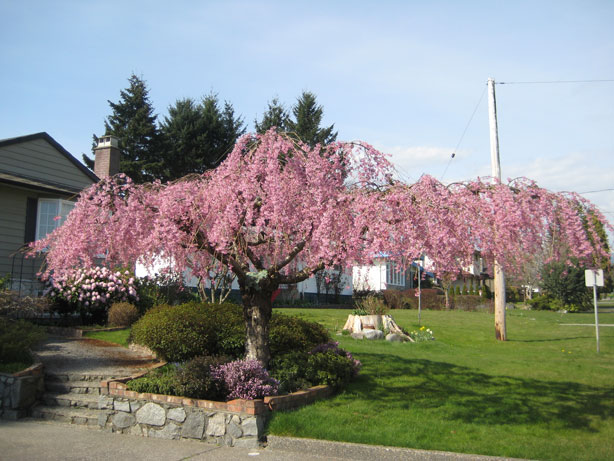 Pendula cherry tree Yeovil street (corner of Karen) Burnaby North March 29 2013