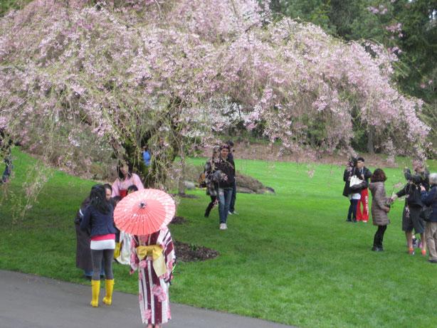 Cherry blossom viewing during Sakura Days Japan Fair April 7 2013